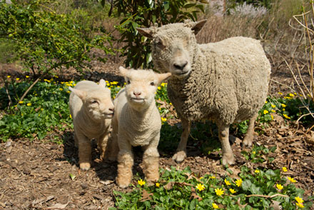 Babydoll lambs with mom Ginger—how cute is this? (Photograph, Julie Larsen Maher © WCS)